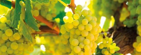 chardonnay_grapes.png