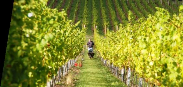 Albury Vineyards